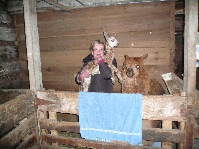 Marshanad baby Alpaca w_mother alpaca